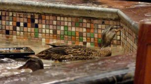 Bis 17 Uhr dürfen die Enten im Hotelbrunnen schwimmen.