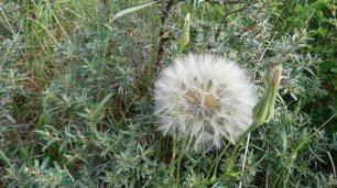 Die Pusteblume trotzt dem Wind