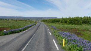 Lupinen blühen am Wegesrand